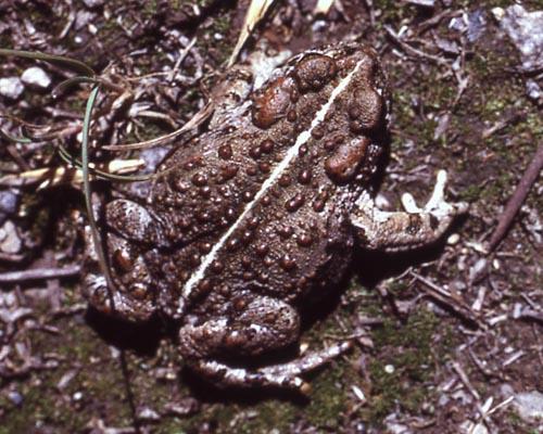 Amphibians Of Yellowstone National Park Yellowstone Up