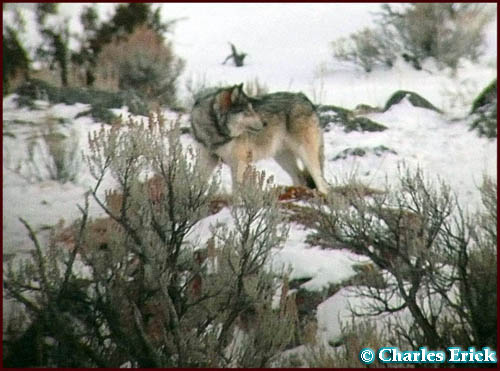 Canyon Group Wolf ~ © Copyright All Rights Reserved Charles Erick