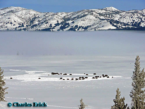 Bison Herd in Hayden Valley ~ © Copyright All Rights Reserved Charles Erick