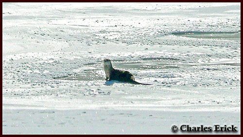 Otter on Yellowstone Lake ~ © Copyright All Rights Reserved Charles Erick