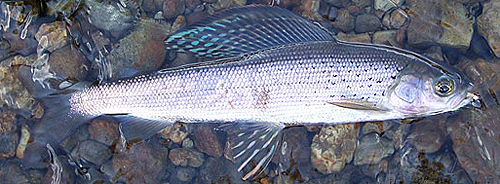 Arctic Grayling - NPS Photo