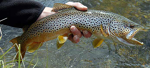 Brown Trout ~ NPS Image