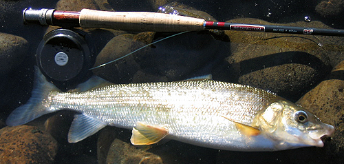 Mountain Whitefish - Photo by Woostermike