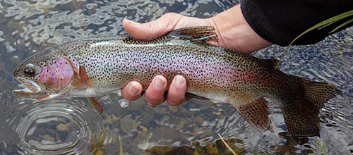 Rainbow Trout ~ NPS Photo