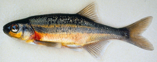 Redside Shiner ~ Dept of Fish and Wildlife, OR Photo