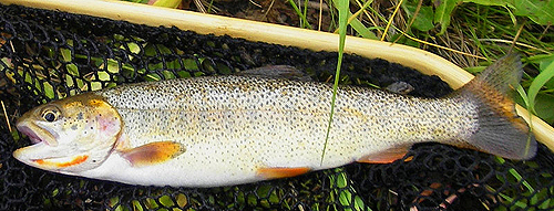 Snake River Finespotted Cutthroat Trout - Photo by Craig D. Young