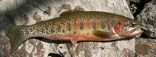 Westslope Cutthroat Trout - NPS Photo