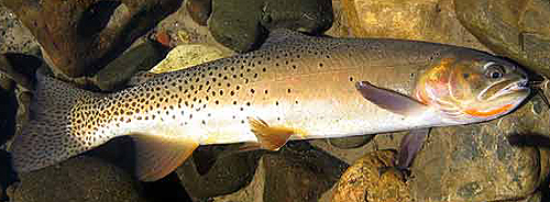 Yellowstone Cutthroat Trout - NPS Photo