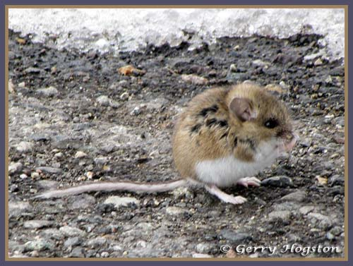 Mouse at Nature Trail ~ © Copyright All Rights Reserved Gerry Hogston