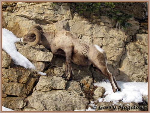Yellowstone Bighorn Ram ~ © Copyright All Rights Reserved Gerry Hogston