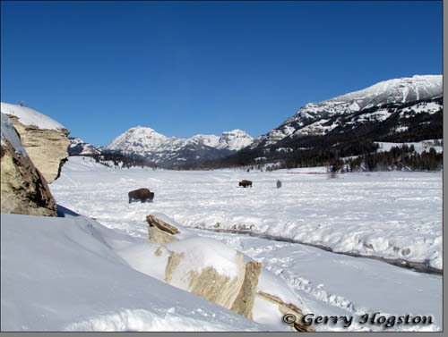 Buffalo at the Soda Butte Cone ~ © Copyright All Rights Reserved Gerry Hogston
