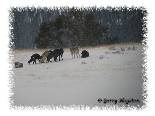 Yellowstone Wolves ~ © Copyright All Rights Reserved Gerry Hogston