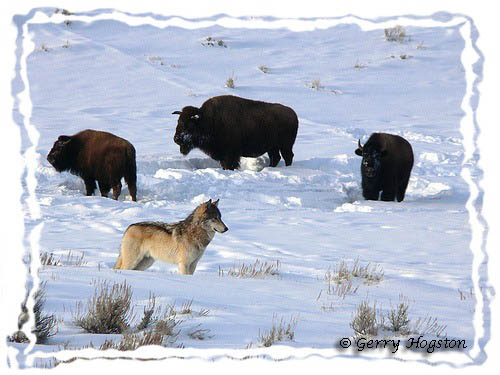 Yellowstone Wolf and Buffalo ~ © Copyright All Rights Reserved Gerry Hogston