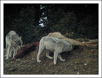 Two Gray Wolves of the Druid Peak Pack by Joseph E. Uhler ©