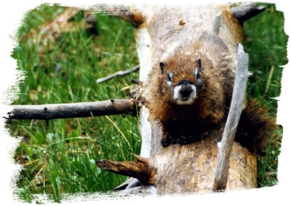 Yellowstone Yellow-bellied Marmot by John William Uhler Copyright © All Rights Reserved