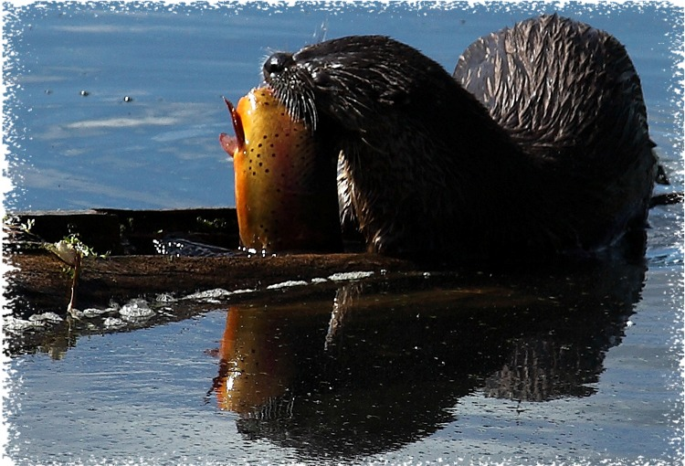 Mother otter at Trout Lake in Yellowstone National Park ~ by John William Uhler © Copyright Page Makers, LLC