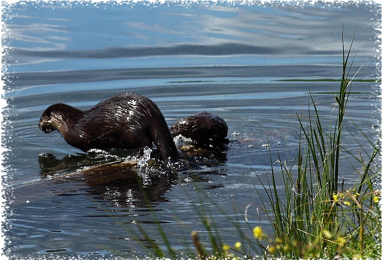 Mother and pup otters at Trout Lake in Yellowstone National Park ~ by John William Uhler © Copyright Page Makers, LLC