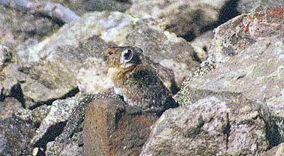 American Pika Picture by John William Uhler taken on 28 June 2002 on Mount Washburn in Yellowstone © Copyright All Rights Reserved