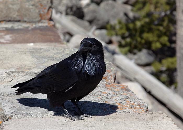 Raven Photos 169 John William Uhler Yellowstone Up Close