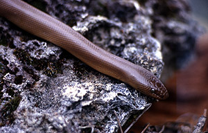 Rubber Boa Snake - NPS Photo