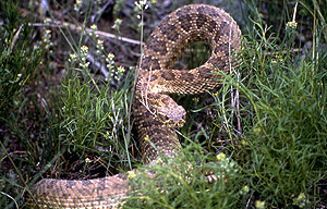 Prairie Rattlesnake Snake - NPS Photo