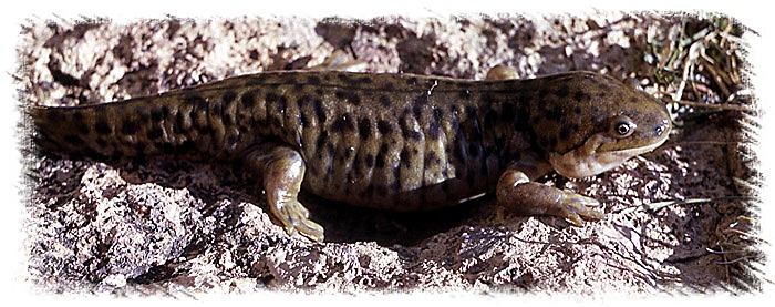 Tiger Salamander - NPS Photo