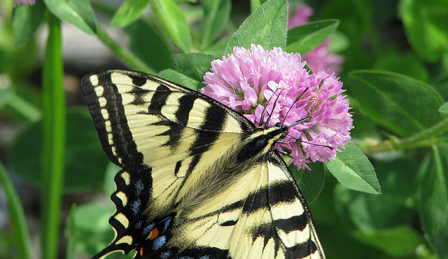 Swallowtail on Clover by Pat Eftink © Copyright All Rights Reserved