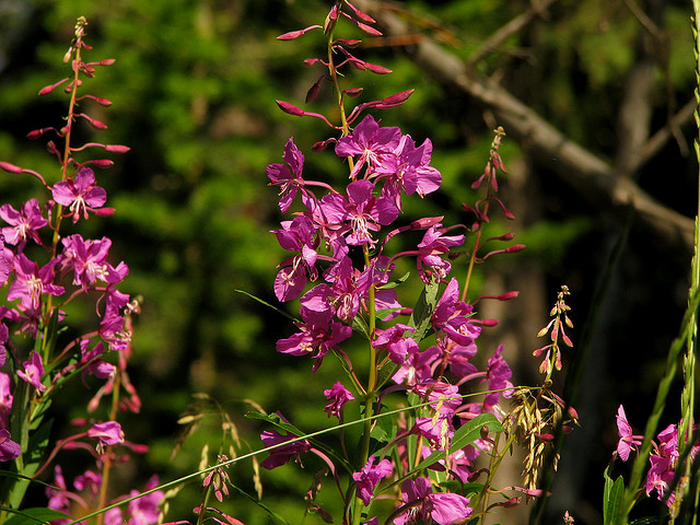 Fireweed by Pat Eftink © Copyright All Rights Reserved
