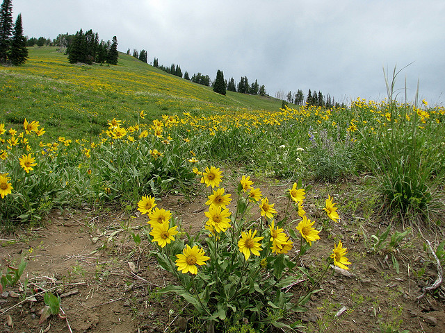 Wildflowers on Dunraven Pass by Pat Eftink © Copyright All Rights Reserved