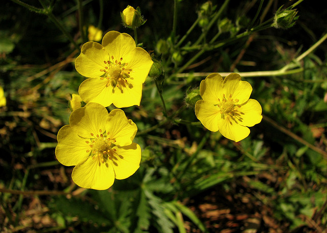 Shrubby Cinquefoil by Pat Eftink © Copyright All Rights Reserved