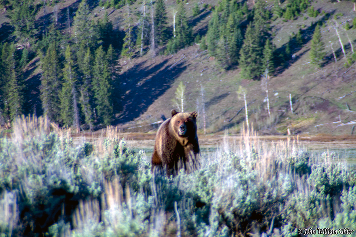Yellowstone National Park Grizzly Bear by John William Uhler © John William Uhler All Rights Reserved