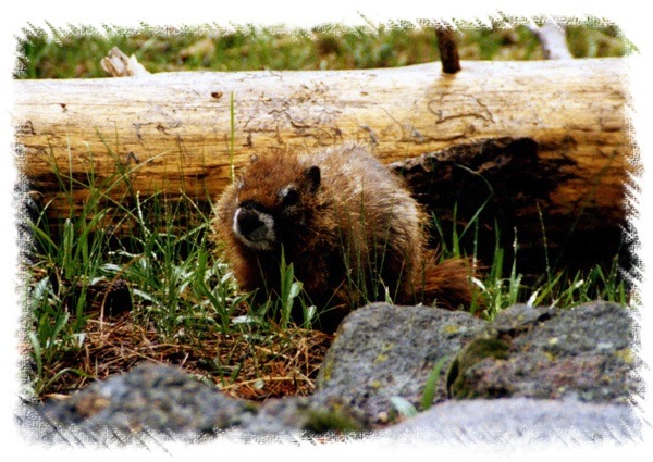 Yellow-bellied Marmot in Yellowstone National Park by John William Uhler © Copyright All Rights Reserved