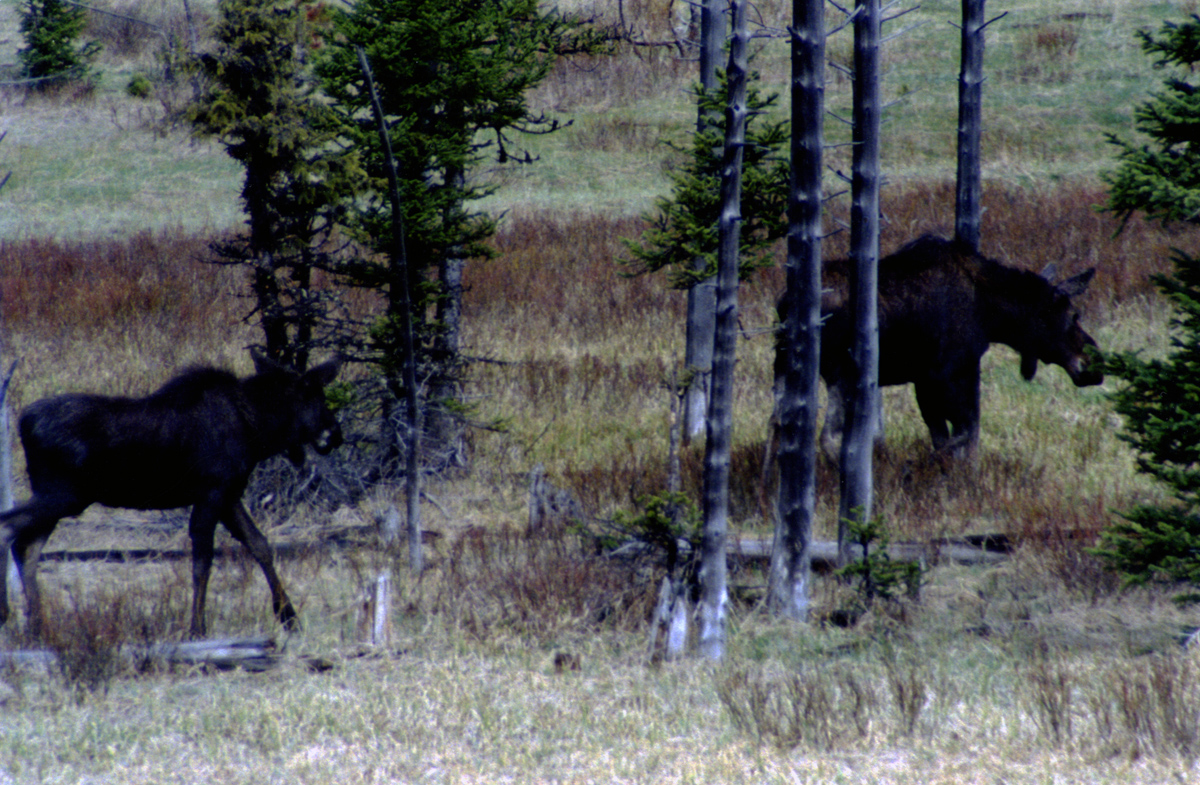 Moose in Yellowstone National Park by John William Uhler © Copyright All Rights Reserved
