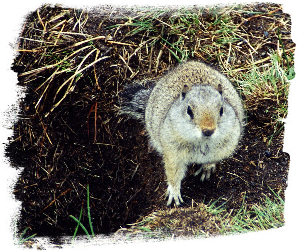 Uinta Ground Squirrel in Yellowstone National Park by John William Uhler © Copyright All Rights Reserved