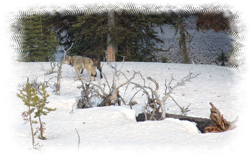 Wolves near Canyon by John William Uhler © Copyright All Rights Reserved